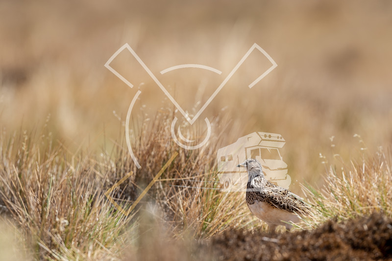 Female grey-breasted seedsnipe in a grassland in the Bolivian Altiplano