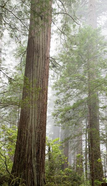 redwoodsFin29-1208.jpg