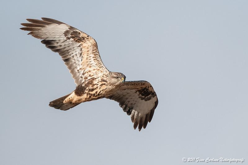 Musvåge - Buteo buteo insularum - Common buzzard