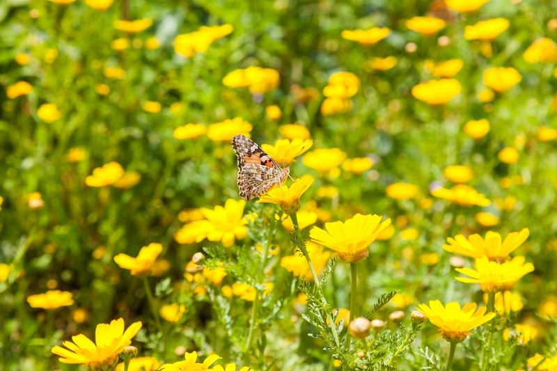 Butterflies at spring flowering season