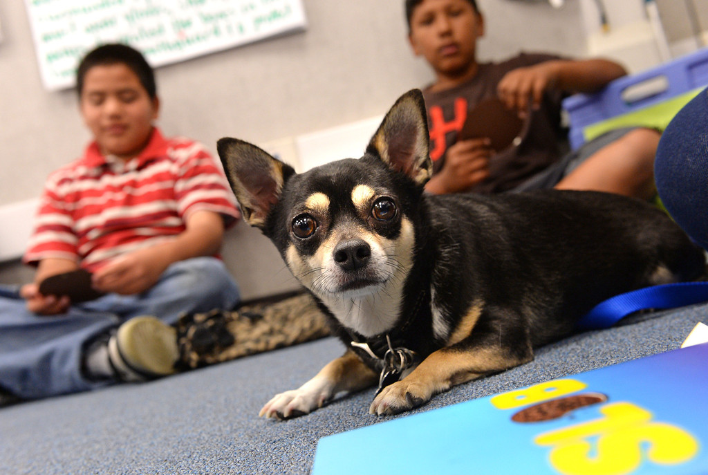 . Diego\'s Dudes lunchtime reading club at Felton Elementary School in Lennox. Teacher Alex Carrera brings her Chihuahua Diego to class as a mascot to help boys improve reading skills. Left is Miguel Tuznoh, and right is Jose Cervantes. Photo by Brad Graverson 5-15-13