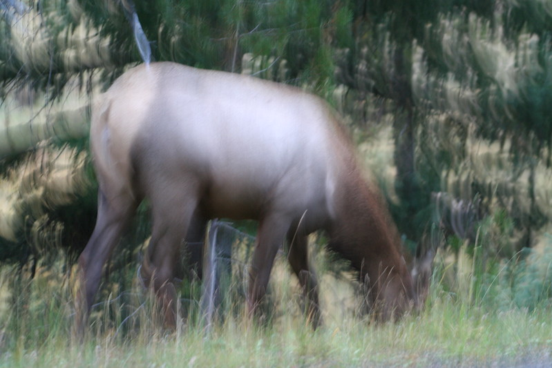 20080911-14 - Rocky Mountain NP - 11 (Fuzzy) Elk.JPG