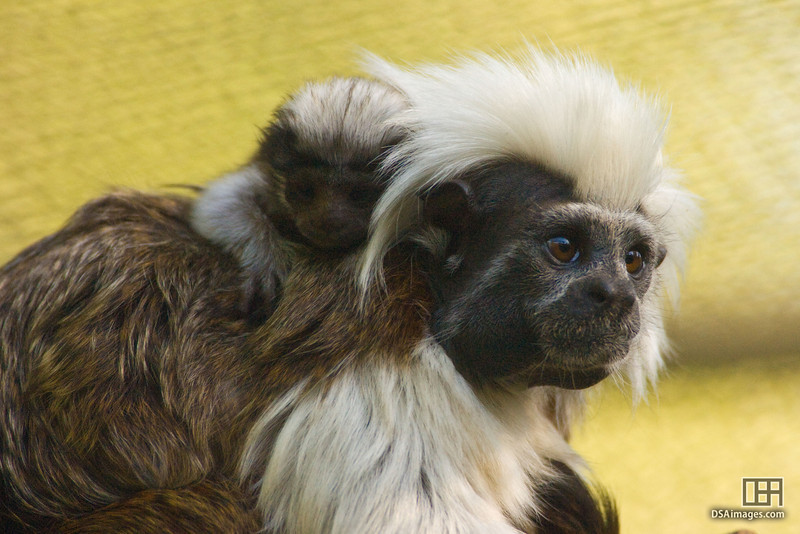 Tamarin with 3 day old baby