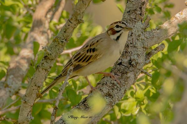 Lark Sparrow 3 LL_DWL5393.jpg