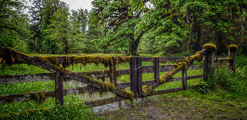 Mossy Fence, Quinault Rain Forest