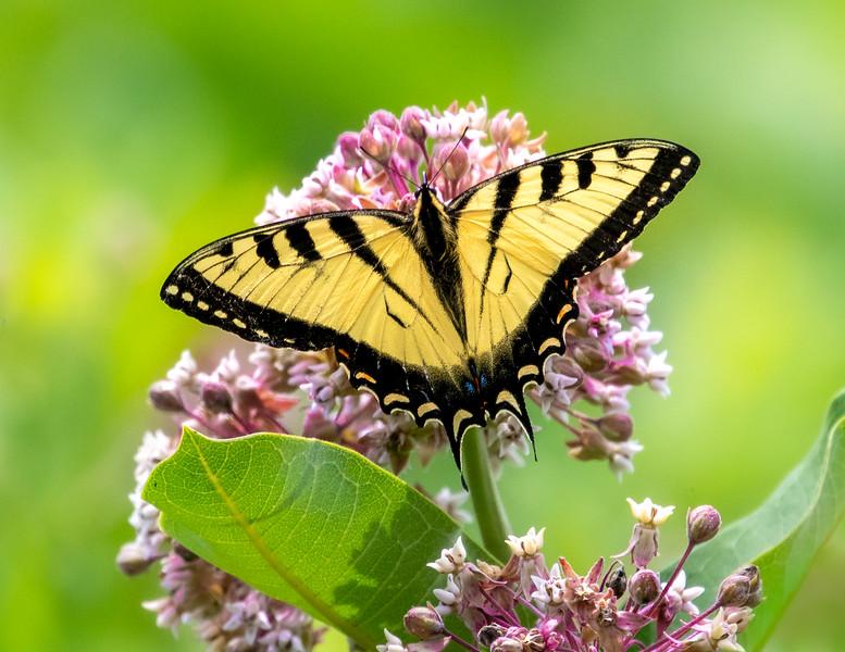 Midsummer Tiger Swallowtail 8x11-1.jpg