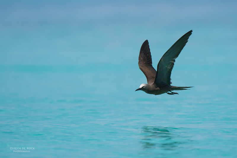 Common Noddy, Michaelmas Cay, QLD, Dec 2014-6.jpg