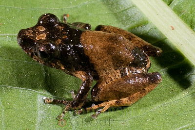 Pristimantis sp. nov. (black hooded)
