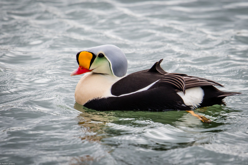 King Eider on Cape Cod Canal
