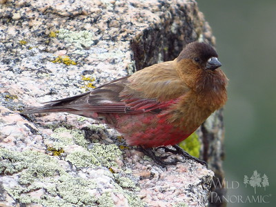 Brown-Capped Rosy Finch