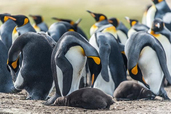 Parenting/ King penguins