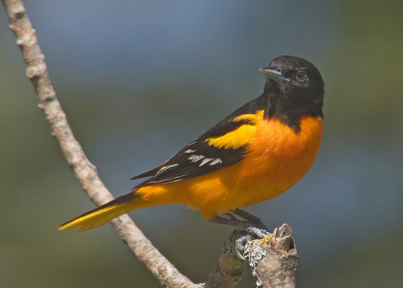 Oriole - Baltimore - male - Dunning Lake, MN - 05