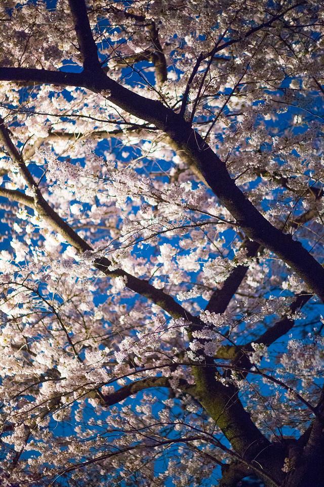 cherry blossoms hanami tokyo 2018