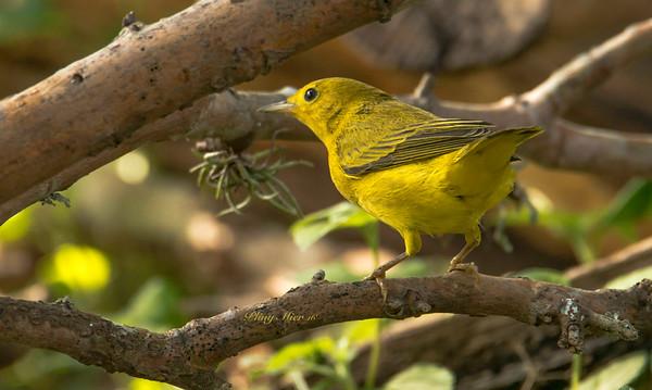 Yellow Warbler CB_DWL4197.jpg