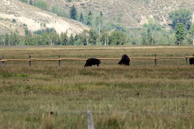 Yellowstone/Grand Teton 8/30/13