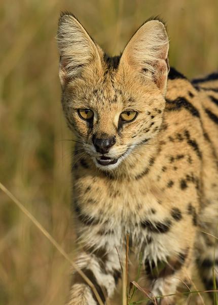 Serval-cat-Masaimara.jpg