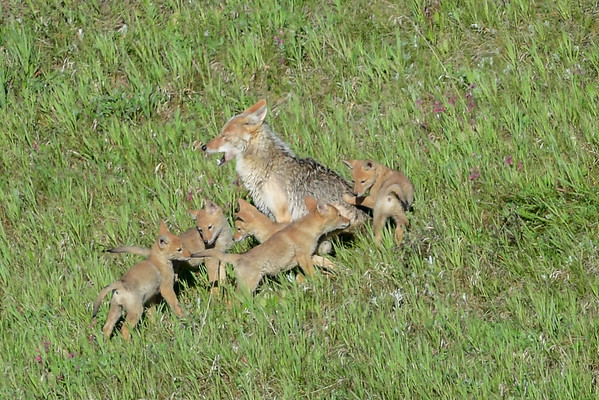 5-31-16 Coyote Mom & Pups
