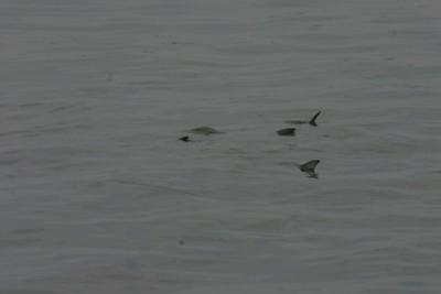 Bluefish Spawning