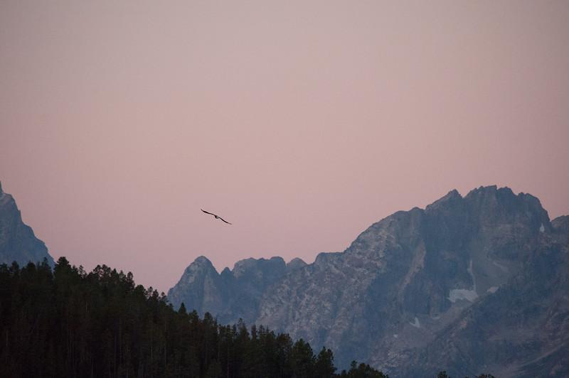 Bald Eagle at sunrise over the Grand Tetons