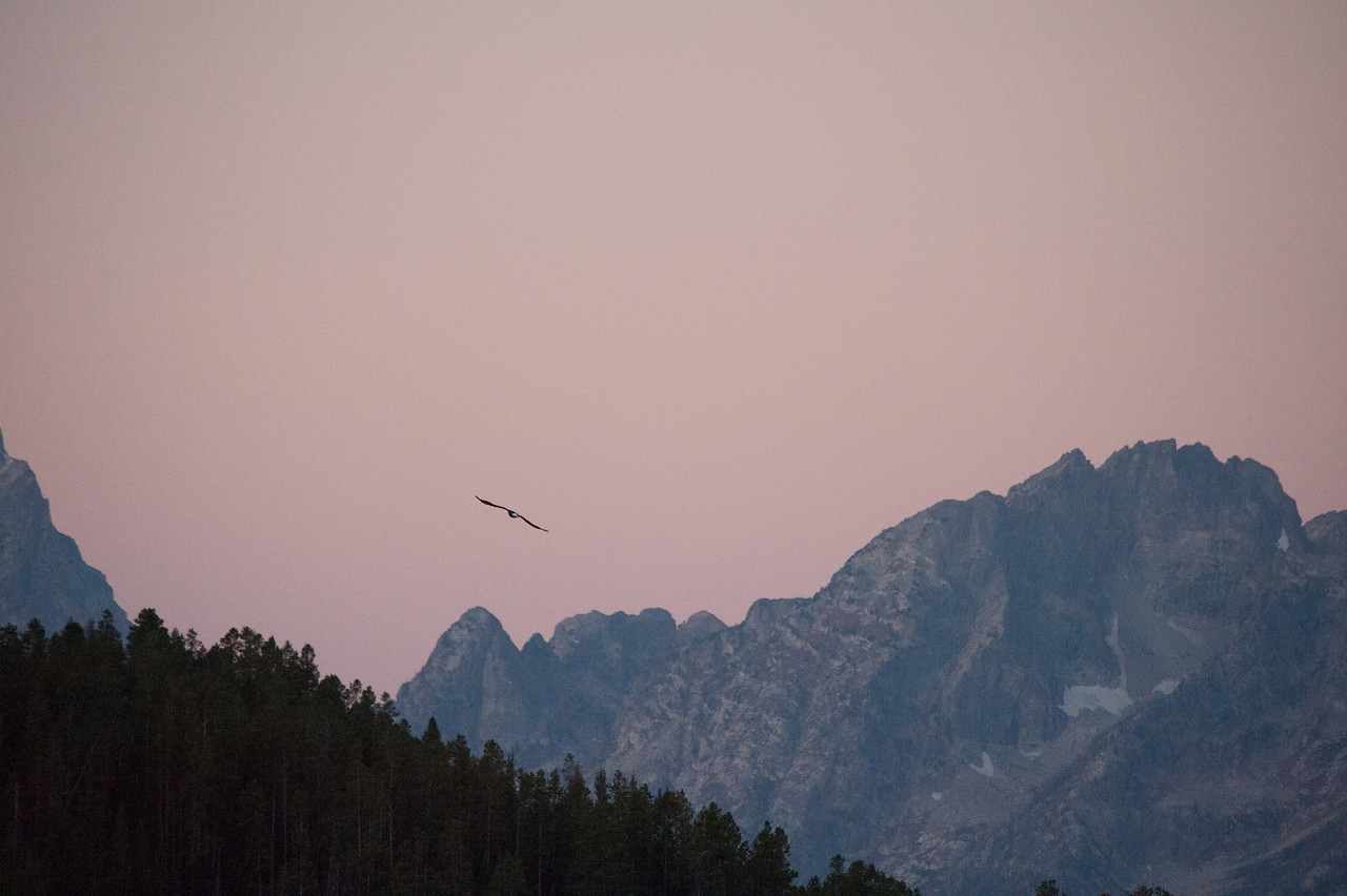 Bald Eagle at sunrise over the Grand Tetons