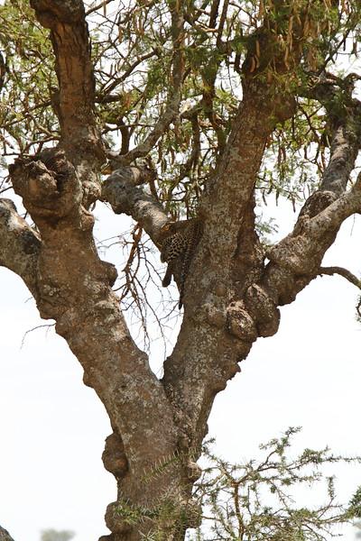 Chui in Tree.JPG