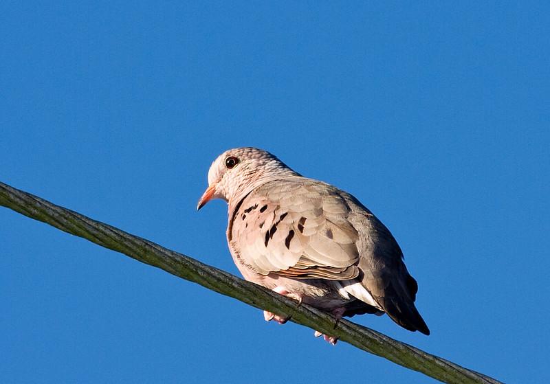 ground dove