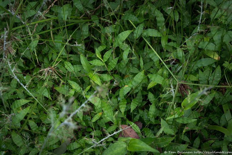 Mystery grass 7 (Oplismenus aemulus?)