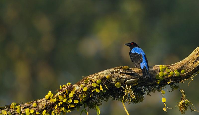 Asian-fairy-blue-bird-andamans.jpg