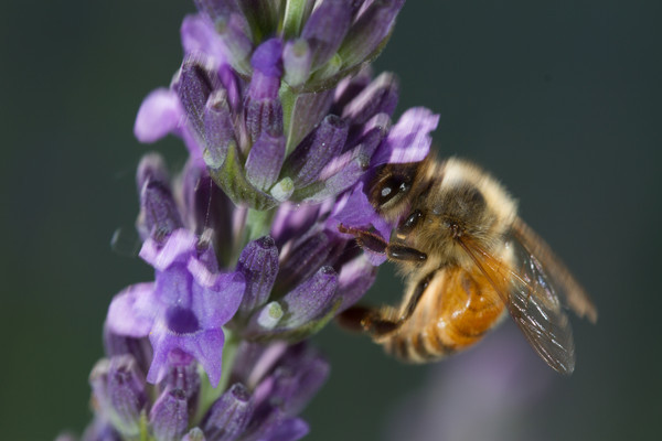 2012-06-23 Bees on lavendar