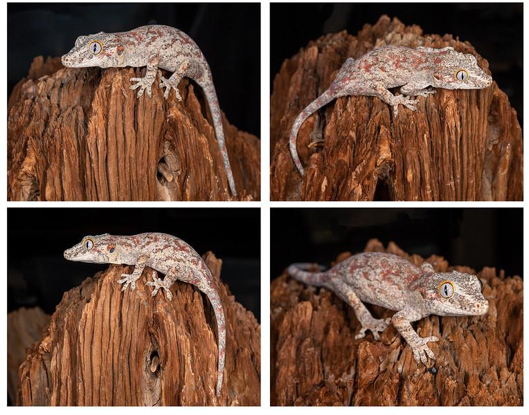 Gargoyle Gecko #2006, $150