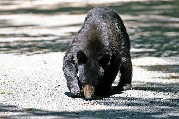 Black Bear Cub 06/15/2013