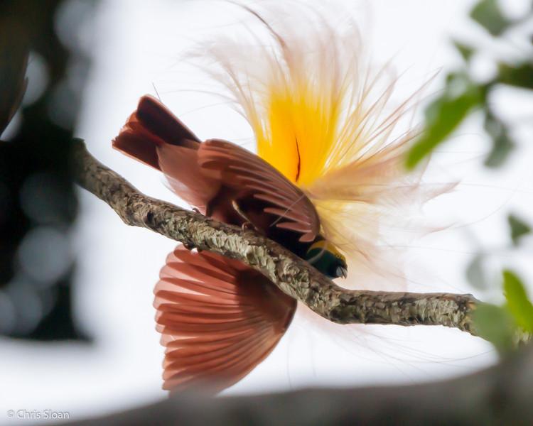 Greater Bird-of-Paradise at KM 17 near Kiunga, Papua New Guinea (10-10-2013) 016-155.jpg