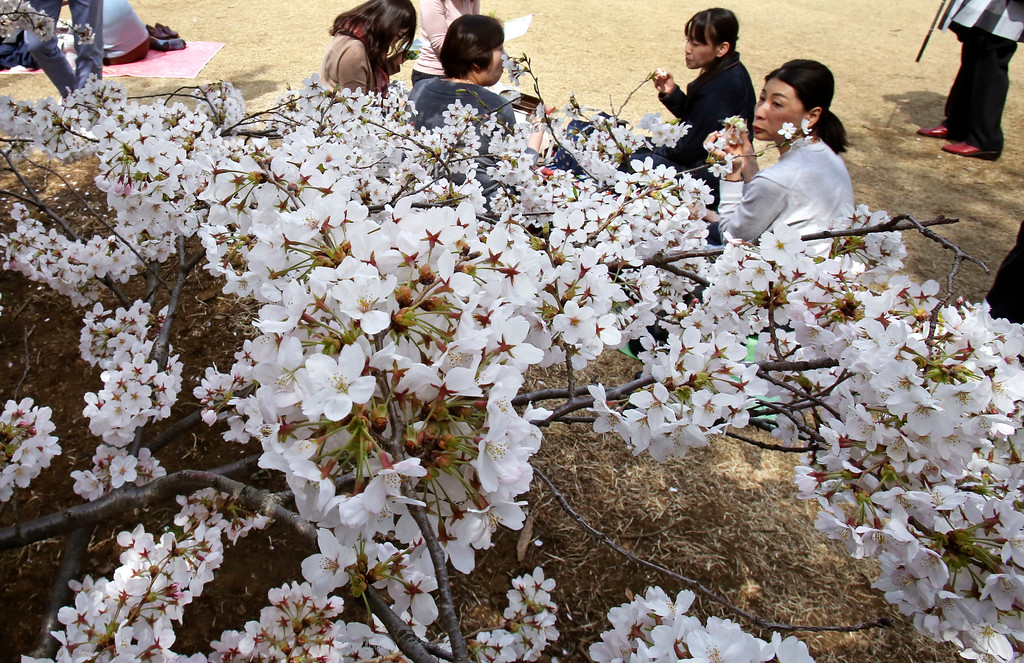. Visitors enjoy the cherry-blossom viewing at a park in Tokyo, Monday, March 26, 2018. Cherry blossom flowers are at full bloom in Tokyo, Japan as it warms up for the spring season. (AP Photo/Koji Sasahara)