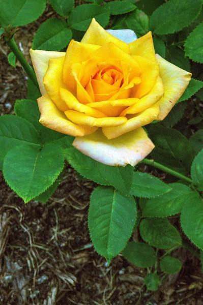 Ritter Park Rose Garden, WV, 010.jpg