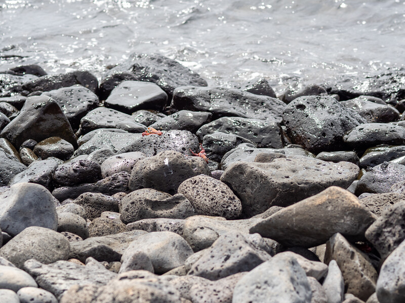 Red crab - Santa Fé Island