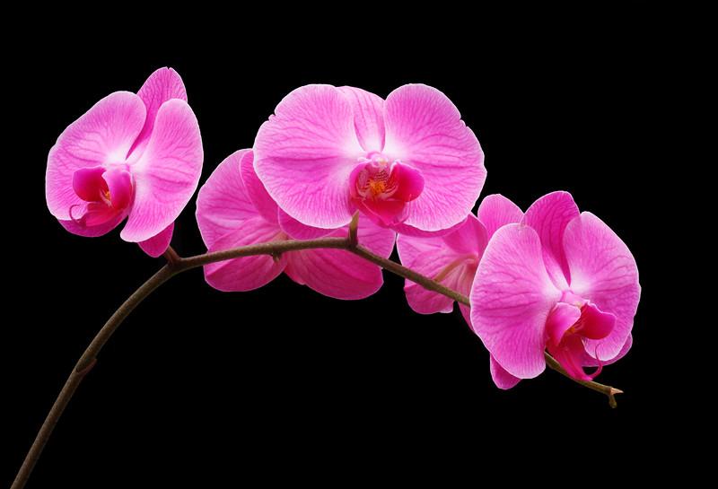 Minno Valentine Orchid
