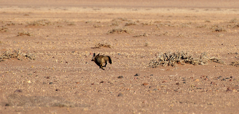 Run Fox Run - Namibia