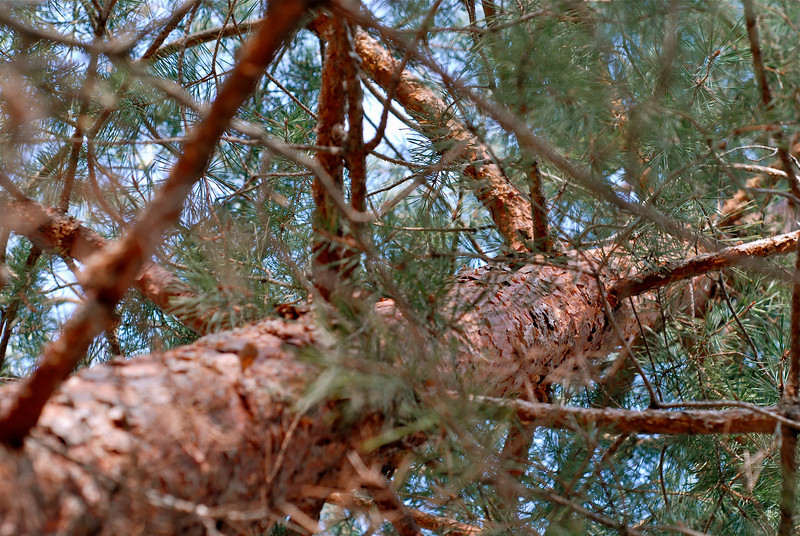 2011/4/16 – More from my front yard. This pine tree is about 40 to 50 feet tall and right at the front door of the house. When the house was new we got this little tiny pine tree  for Arbor Day that was about a foot tall and thinner than a #2 pencil. The kids actually got it and brought it home from school. I popped it in the ground thinking it would likely die. it didn't. At least it is doing really well. Depending on the moisture we get it grows two to three feet a year.