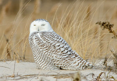 Snowy Owls - Jones Beach 12/27/2013