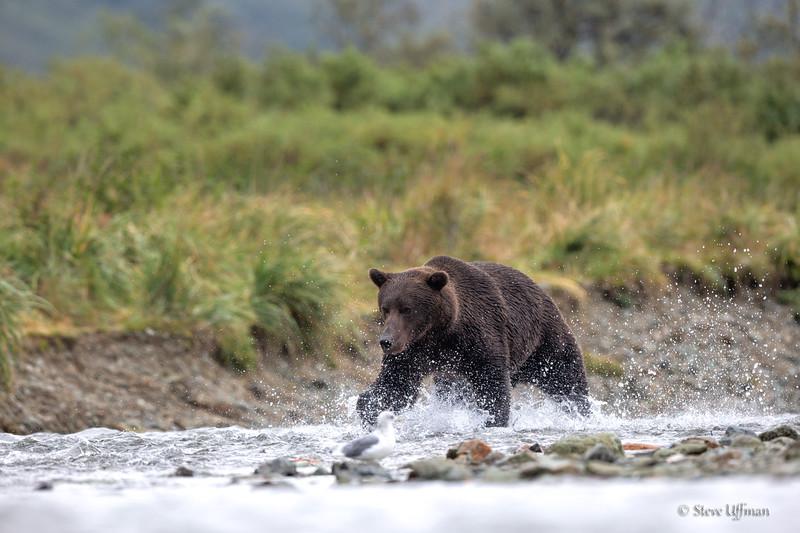 20140905-_G7Q3881Katmai-Bears-Kinak-Edit.jpg