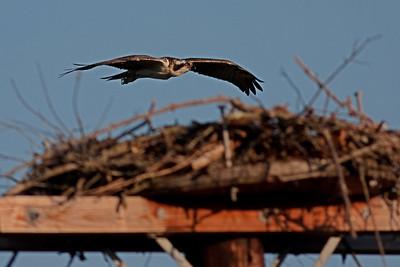Westbrook Osprey Nest - Islip, NY