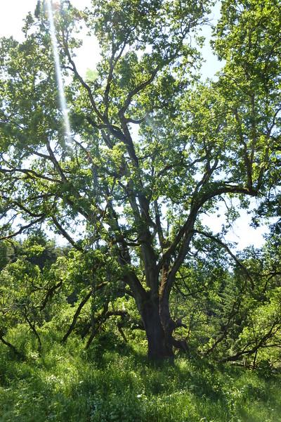 Signature Oak - A tree estimated around 400 years old. HUGE!