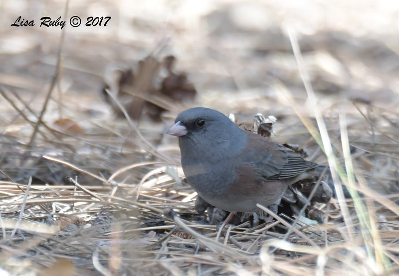 Dark-eyed Junco (Got input on this one, might be Pink-sided, but could be a sub-species cross of some sort) - 10/18/2017 - Wickwood Lane, Prescott, AZ