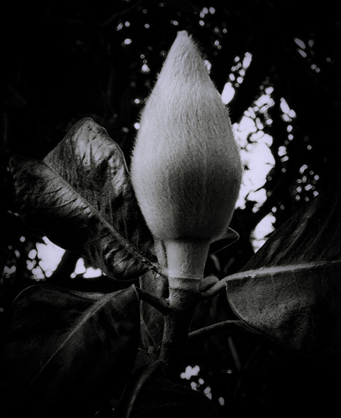Magnolia-.jpg