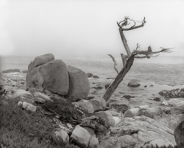 Lone Tree on the California Coast