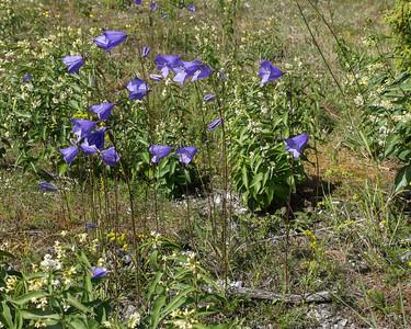 Campanulaceae Klockväxter