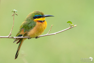 Little Bee-eater in Samburu