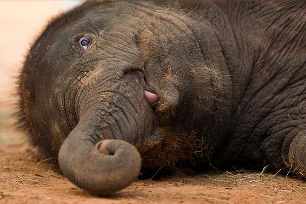 Baby elephant Baylor