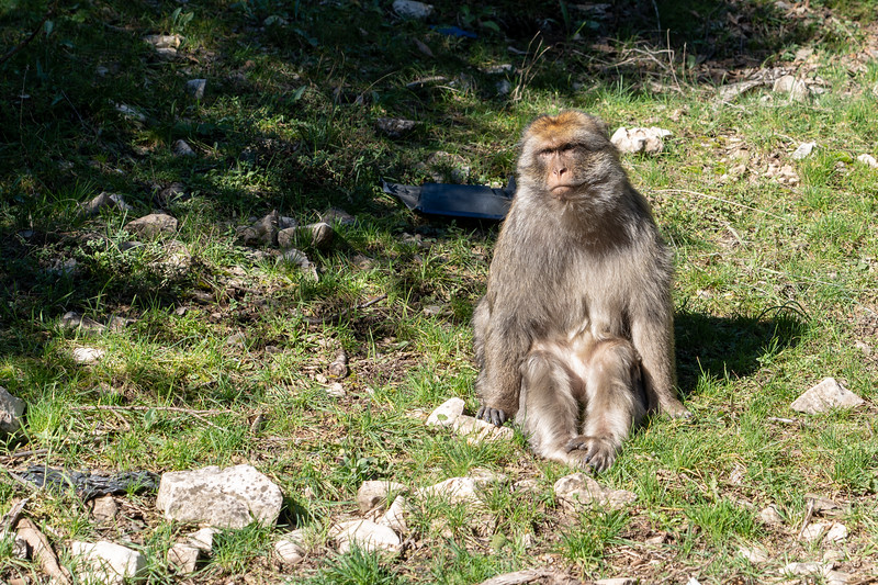 Barbary macaque in Ifrane National Park