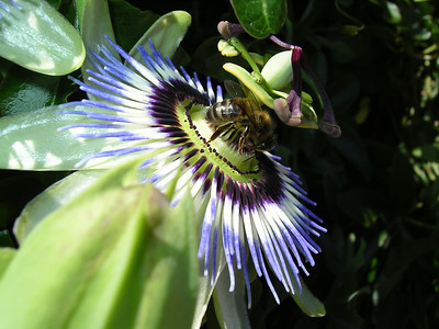 Passion Flower and Honey Bee